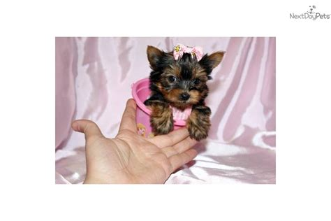 show quality yorkies for sale terrier yorkie puppy for sale near los angeles california 46075449 a611