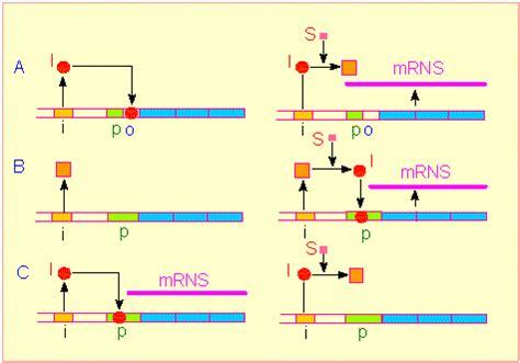 induktor biologie botanik genetische information transkription