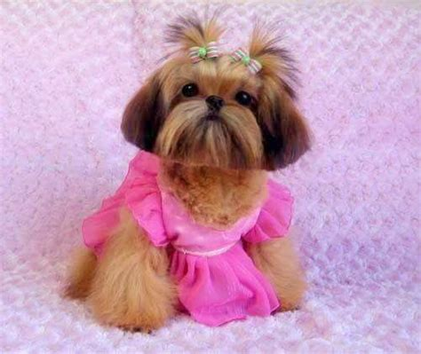 female shih tzu haircuts this young lady wants to help all of us breast