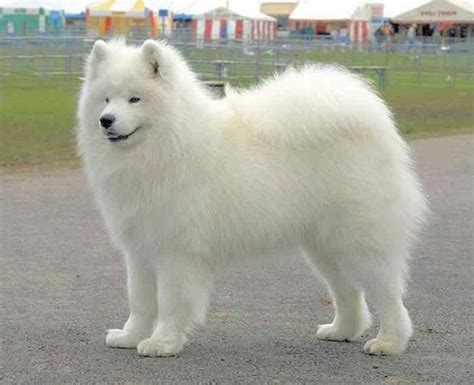 white puppy big white fluffy breeds myideasbedroom