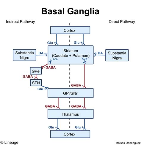 basal ganglia circuit diagram circuit and schematics diagram