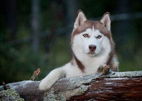 beautiful puppy dogs look at most beautiful breeds husky below are some beautiful breeds picture