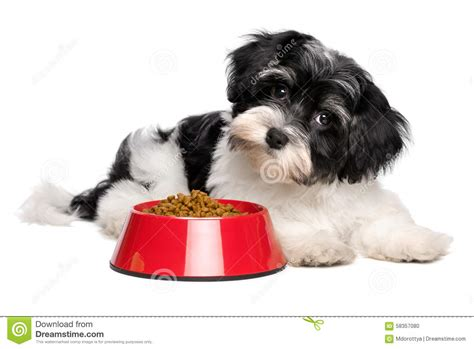 cute dog eating from bowl stock photo image 61440749 cute havanese puppy dog is lying next to a red bowl of dog