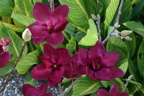 magnolia genie planthaven international