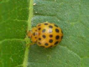How To Get Rid Of Garden Pests - 26 spotted ladybird aussie organic gardening