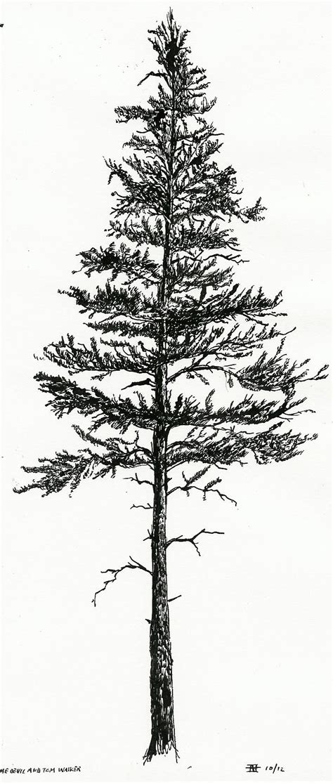 pine tree silhouette tattoo lodgepole pine silhouette search you