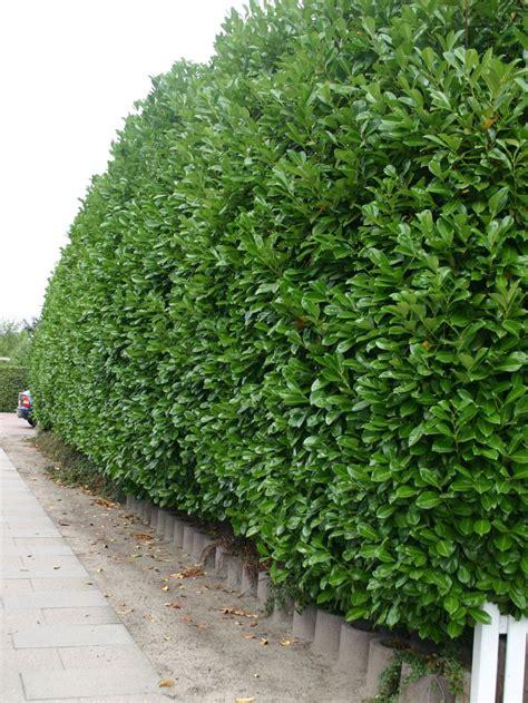 kirschlorbeer rotundifolia kaufen kirschlorbeer lorbeerkirsche rotundifolia prunus