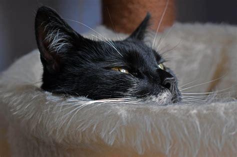 Cat Putih Danagloss White 0001 gambar membelai bulu kucing hitam fauna cakar cambang moncong mata kucing hitam dan