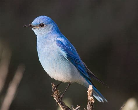 washington state bird facts idaho state bird mountain bluebird