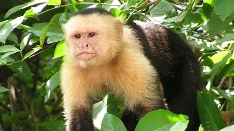 wayward capuchin monkey sent to a new home to find friends