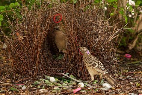uccello giardiniere le illusioni geometriche degli uccelli giardinieri
