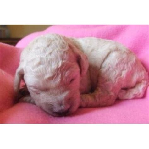 doodle bugs paragon indiana doodle bugs doodles goldendoodle breeder in momence il