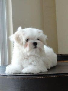 maltese puppies for sale in ta maltese sale hong kong maltese puppies buy buy maltese breeders maltese dogs breed