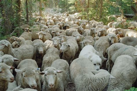 how to a to herd sheep sheepherding south bay pets