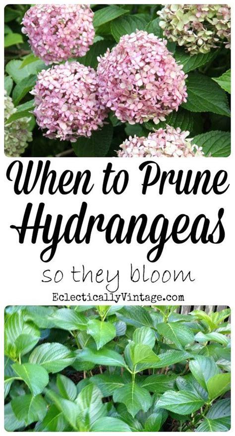 when to prune hydrangeas hydrangeas and when to prune