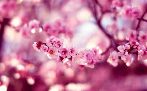 ciliegio in fiore ciliegio in fiore