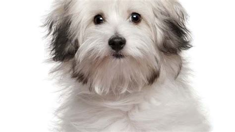 types of purebred dogs small breeds selecting purebred puppies