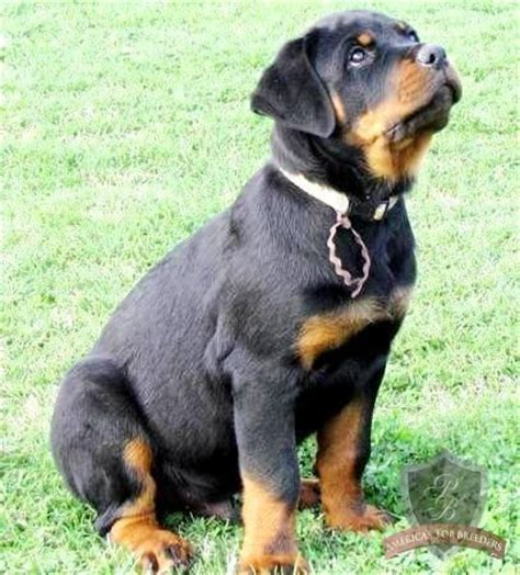 how much is a rottweiler 181 best animals images on