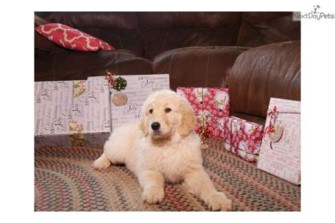 goldendoodle puppies youngstown ohio goldendoodle puppy for sale near youngstown ohio