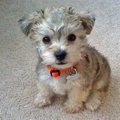 schnauzer doodle puppies for sale poodle mixes schnauzer poodle mix puppies for sale