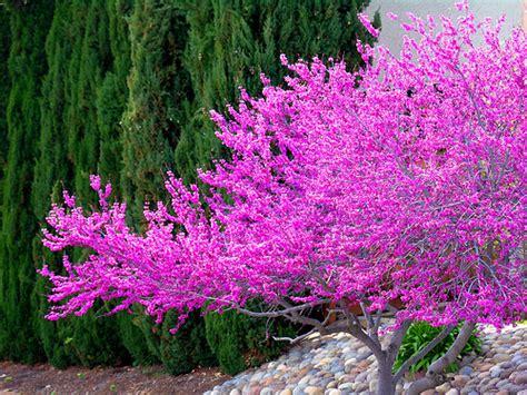 a lavender tree 1 flickr photo sharing