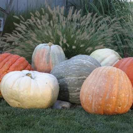 what color are pumpkins world of color blend pumpkin 03292 50 100 lbs range