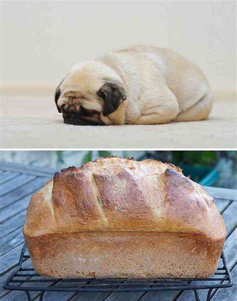 breed that looks like a pug pug looks like a loaf of bread 24 dogs that an uncanny resemblance to something