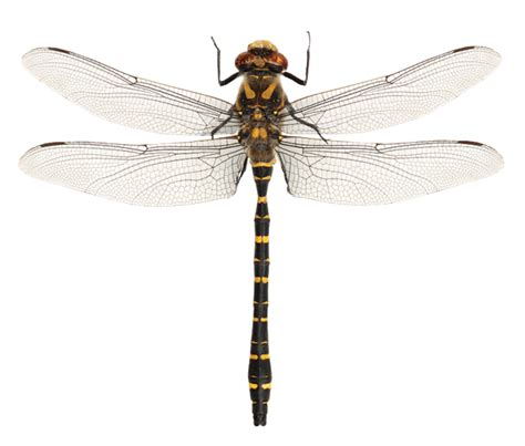 Dragonfly L by What S On The Golden Ringed Dragonfly Darkened Not