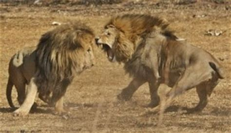 peleas de leones a muerte video de una pelea de leones animales en video