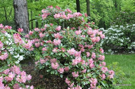 top 28 soil type for rhododendrons 28 best soil type for rhododendrons rhododendron bali