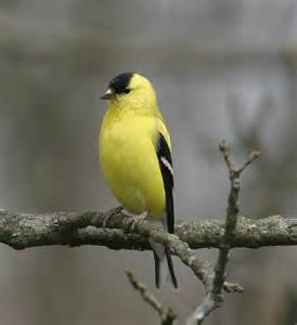 ohio bird photo collection spectacular american goldfinch