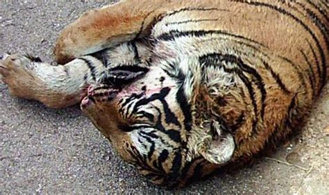Hanging Without Nails the horrific cruelty of china s tiger farms revealed