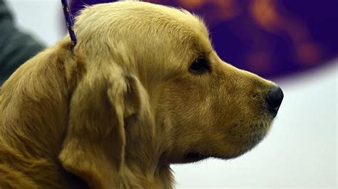 golden retriever uveitis blind s guide may lose sight