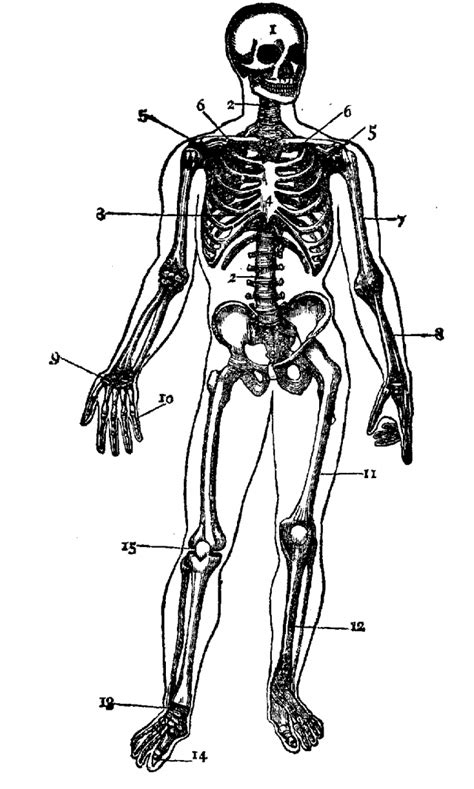 anatomy coloring pages skeleton skeletal system coloring page az coloring pages
