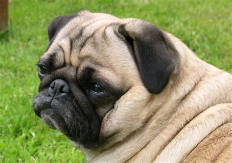 are pugs pug hd wallpapers high definition free background