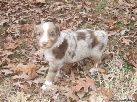 australian shepherd puppies price miniature australian shepherd puppies price 300 for sale in spotsylvania virginia