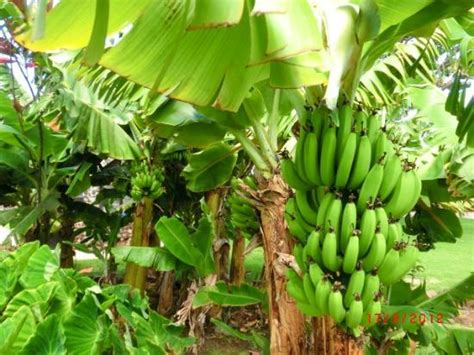 bananas on tree banana tree cliparts co