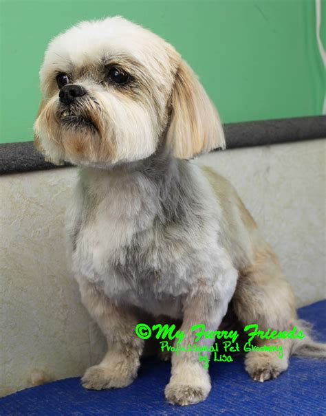 best shoo and conditioner for shih tzu haircuts for havanese dogs the best haircut 2017