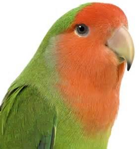 lovebird colors faced lovebird