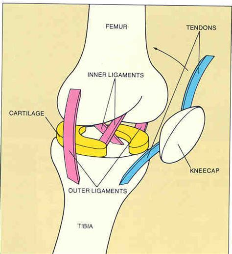 left knee ligaments diagram 1 movements at joints
