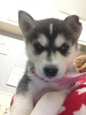 husky puppies for sale in dallas blue siberian husky puppies for sale adoption from dallas adpost