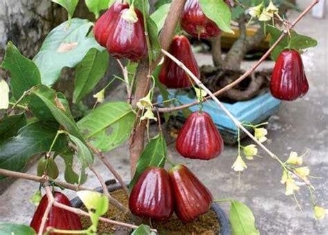 Bibit Jambu Air Cangkokan pohon jambu monyet jambu jamaika tanaman jambu jamaica