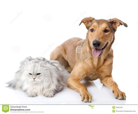 cat and mix cat and mixed breed together stock photo image 40607033