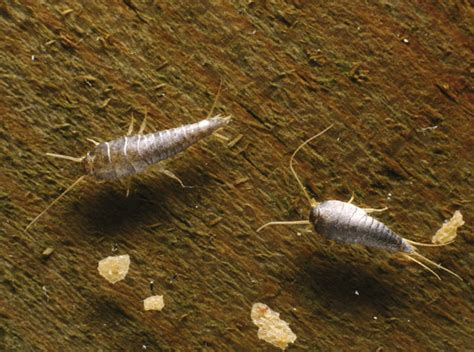 silverfish in bed house of horrors 10 creepy critters lurking in your home