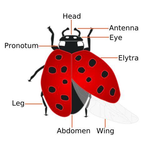 ladybug document file coccinellidae ladybug anatomy svg