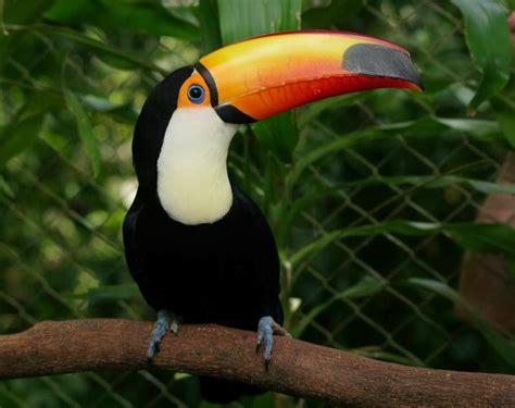 como hacer el pico de un tucan en un gorro animales del mundo tucan