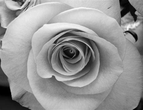 wallpaper black and white roses black and white rose picture rose wallpaper