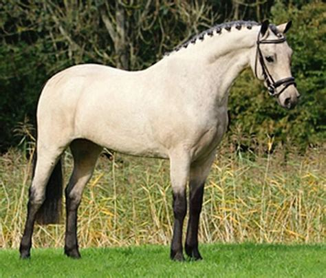 section b pony 17 best images about welsh ponies and cobs on pinterest