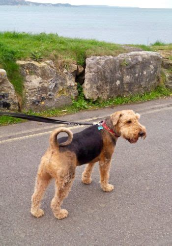 taunton yorkie rescue airedale terrier rescue photo