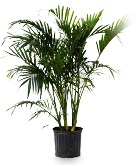 Plants That Do Well Indoors alpha botanical cat palm plant care profile